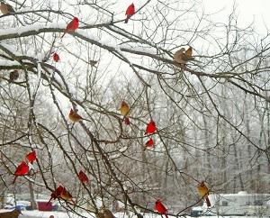 The bird store cardinals